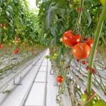 γενετικά τροποποιημένη ντομάτα