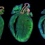 Αναγέννηση καρδιάς σε ποντίκια