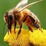 Ξεκλειδώθηκαν τα γενετικά μυστικά των μελισσών