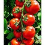 Γιατί να επιλέξετε ντομάτες βιολογικής καλλιέργειας