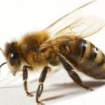 Το δηλητήριο της μέλισσας προστατεύει από τον ιό HIV
