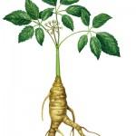 Το Ginseng σχετίζεται με καλύτερη διαχείριση του άγχους